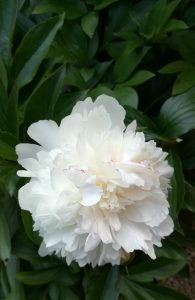 100x134-fleur-blanche-inspiration-pivoine-LDM-Createur-fr