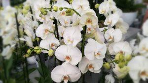 100x167-fleur-blanche-orchidee-mariage-LDM-Createur-fr